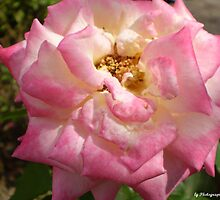 Yellow Rose Hybredized by lgPhotography