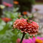 Zinnia Perch by Jay Gross