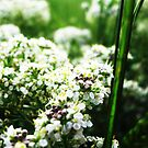 White Flowers by MRPhotography