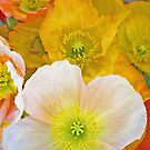 Papery Poppies by ShotsOfLove