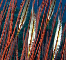 Razorfish among the coral, Kimbe Bay, Papua New Guinea by Erik Schlogl