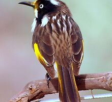New Holland Honeyeater by Clive