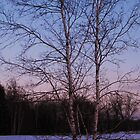 Birch at Sunset by Nicole DeFord