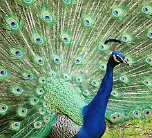 Peacock Close Up by shane22