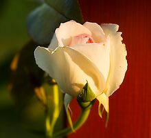 Evening Rose by Trudy Wilkerson