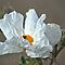 Prickly Poppy by Arla M. Ruggles
