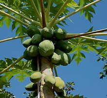 Papaya Tree by Yamangurl