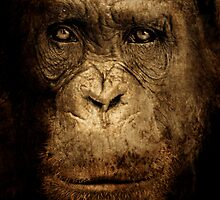 Darwinian Chimp by Jonathan Carre