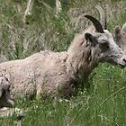 Rocky Mountain Bighorn Sheep by PrairieRose