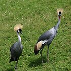 Grey Crowned Cranes  by Alyce Taylor