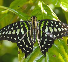 Green Leaf Butterfly by David Lee Thompson