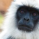 Hanuman Langur Portrait by Nickolay Stanev