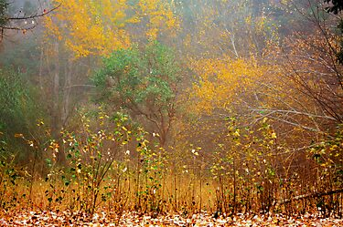 Trees in the Mist by Elaine Teague