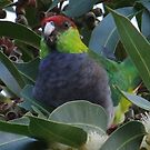 red capped parrot by Rick Playle