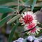 Pin-cushion Hakea, Hobart, Tasmania by Andy Townsend
