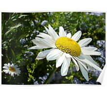 Close Up Common White Daisy With Garden  Poster