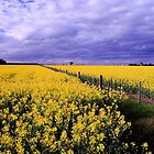 Canola Field by Adam Wightman