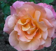 Peach Pink rose by Marie Brown ©