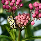 Swamp Milkweed &amp; Monarch Butterfly Caterpiller  by Gene Walls