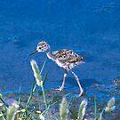 Guess What kind of Bird I Am. Solved Baby Black Neck Stilt shorebird by Nancy Stafford