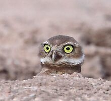 Juvenile Burrowing Owl by tomryan