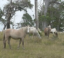 Wild Ponies & White Egrets, Red Rock by louisegreen