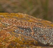 Grassland Earless Dragon - Tympanocryptis pinguicolla  by ChrisCoombes