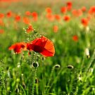 Poppies by RoystonVasey
