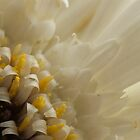 Gerbera in White by KitPhoto