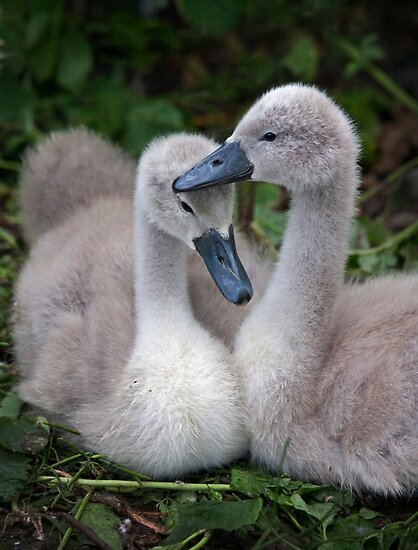 Cygnet Siblings by Krys Bailey