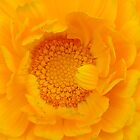 Marigold by RichardJohns