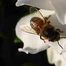 Bee on Gardenia by jsmusic