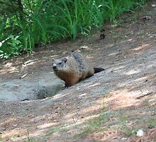 Ground Hog by Agood
