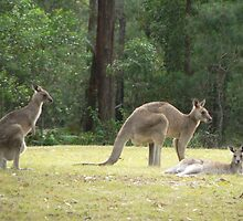 Grey Kangaroos, Arrawarra by louisegreen