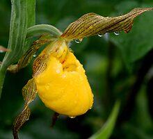 Yellow Lady's Slipper by Larry Trupp