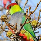 Mr Red Capped Parrot by Rick Playle