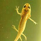 Baby newt by Pamela Troni