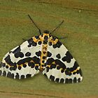 Magpie Moth by Robert Abraham