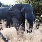 Big Bull African Elephant by nymphalid