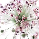 Allium explosion by Sophie Goldsworthy