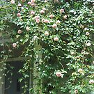 Cascading Albertine Rose by Pat Yager
