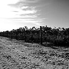 Vineyard by tano