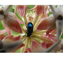 Black-Blue Iridescent Beetle Photographic Print