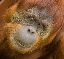 Sumatran Orang-utan by Daniel Attema