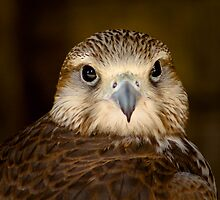 Lanner portrait ....... by jdmphotography