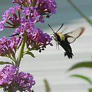 Clearwing Hummingbird Moth 2 by rasnidreamer