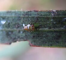 Baby Leafhopper by Vanessa Barklay