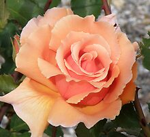 Apricot Rose by Edward Denyer