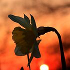 Sunset Daffodil by Martin Griffett
