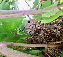 Morning Dove SItting in Her Nest by Nora Caswell